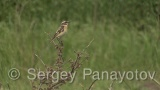 Video of Whinchat