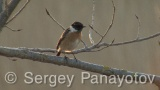 Video of Common Stonechat