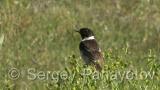 Video of Common Stonechat - Singing Common Stonechat