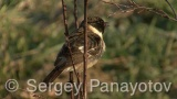 Video of Common Stonechat - Common Stonechat in spring in migration time.