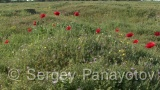 Video of Poppy - Poppy in the grass field, steppe