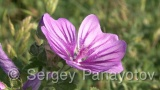 Video of Blue mallow