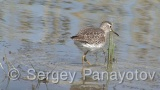 Video of Green Sandpiper