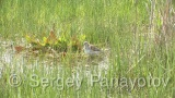 Video of Wood Sandpiper
