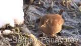Video of Winter Wren