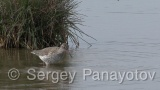 Video of Spotted Redshank