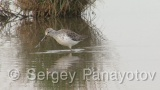 Video of Marsh Sandpiper - Marsh Sandpiper early spring in Bulgaria