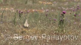 Video of Sociable Lapwing - Sociable Lapwing in cape Kaliakra, bulgaria