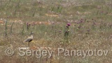 Video of Sociable Lapwing