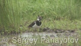 Video of Northern Lapwing