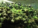 Video of Rockpool prawn - Rockpool prawn & black mussels. Bulgarian Black Sea coast.