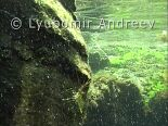 Video of Rockpool prawn - Rockpool prawn. Bulgarian Black Sea coast.